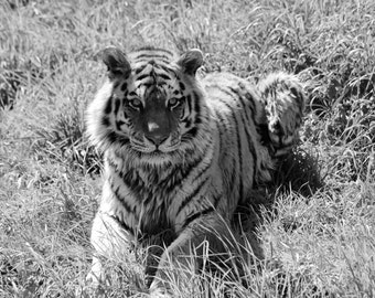 Tiger, Black and White Photography, Wildlife Photography