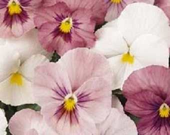 35+ Pansy Panola Pink / Annual Flower Seeds