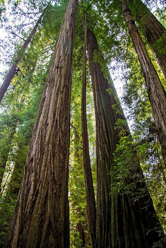 Landscaping With Redwood Trees : California redwood tree photo print landscape photography fine art
