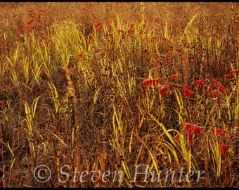 Fall Grass at Sunrise, Presson-Oglesby Prairie, Free Shipping