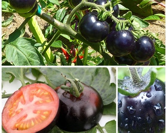 Black Tomato Cherry seeds Tasty Nutritive heath Vegetables Seeds Fruit seeds 30 seeds/pack Heirloom tomato seeds
