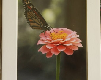 5x7 Matted Monarch Butterfly and Zinnia Flower Photo
