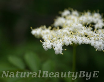 Elderberry bushes, spring, delicate white blossoms or flowers, nature photography, flower photography, serene print or wall art