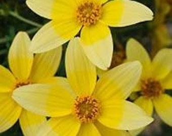Bidens Golden Eye 20 Seeds - Blooms for 5 months!