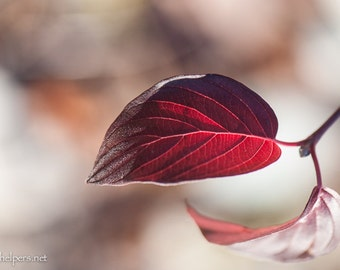 Crimson Leaf, Autumn Beauty, Zen in Nature, Greeting Card or Photograph