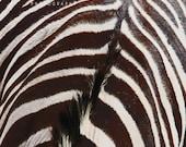 zebra photograph, zebra print, zebra art, zebra wall art, abstract black white, black white art, black white photo, black white stripe