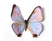 "Morpho Suikowskyi Butterfly 2.5"" Papercut Decoration"