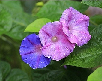 Organic Morning Glory Mixed Colors Heirloom Flower Seeds