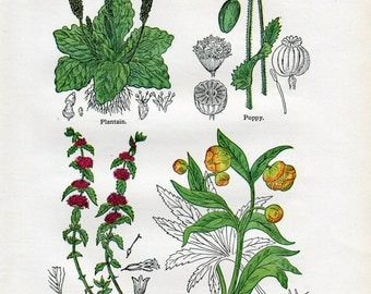 Antique Print of Medicinal and Culinary Herbs, Poppy, Pennyroyal, Plantain and Hellebore
