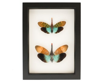Framed Lanternfly Pair Insect Taxidermy Display