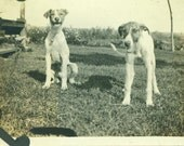 Puppy Dogs Panting After Play Happy in Yard Farm 1920s 20s Antique Vintage Black and White Photo Photograph
