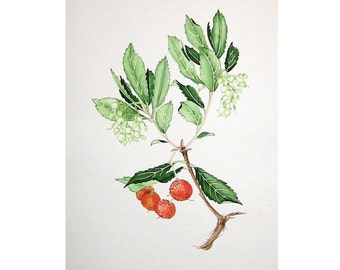 LYCHEE WATERCOLOR - original vintage painting - botanical fruit hand made painting -  litchi-  lizhi - li zhi - lichee