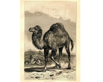 1894 ANTIQUE CAMEL LITHOGRAPH dromedary original antique asian animal print
