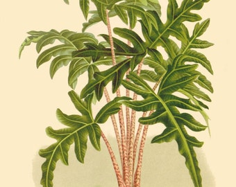 antique french botanical print tropical plant schizocasia illustration digital download