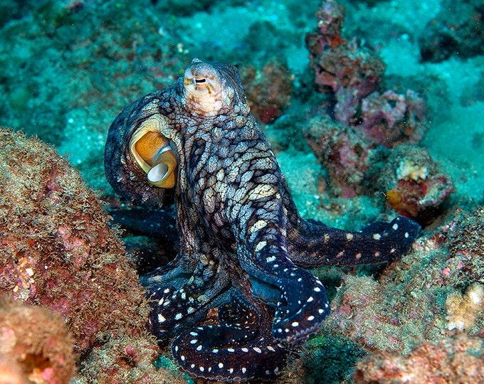 Octopus Art ~ Octopus Print ~ Nautical Decor Underwater Photograph print of Octopus