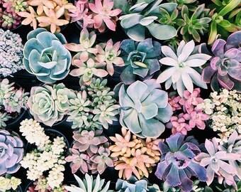 SUCCULENTS, fine art photograph, home decor, cactus photograph, green, pastels, desert decor
