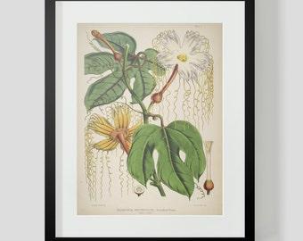 Botanical Illustration Himalayan Plate II (2)