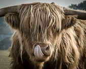 Highland Cattle 12 - Nature Photography - Highland Cow - Wall Décor