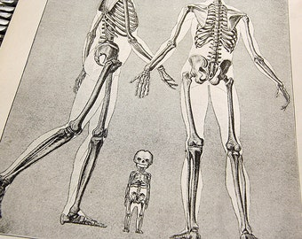 Skeleton in Infancy and Manhood Vintage Book Plate Wonders of Living Things 1943 Metro Publications Perfect for Framing