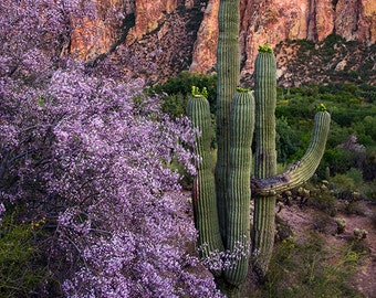 Spring time Ironwood blossoms with Saguaro Cactus near Saguaro Lake in Central AZ fine art photograph