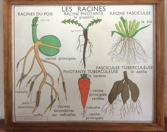 Large Stunning Vintage French School double-sided poster of a plant and vegetables