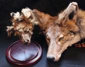 Shrunken Coyote Canine Head Taxidermy Oddity Curio Weird Bizarre Oddities