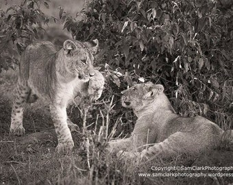 Lion Photograph Africa - lion cubs playing, Lion cubs photo, African Lion, baby animal photo, cat photograph, Africa