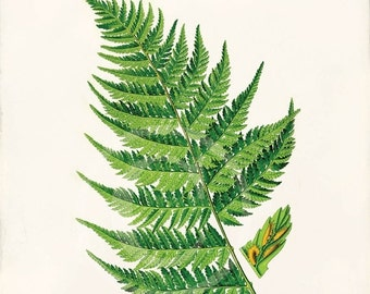 Antique Fern Art Print - Home Decor - Athyrium filix femina 1 - 2