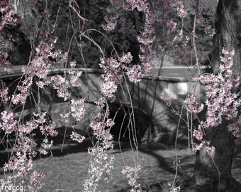 cherry blossom tree branches photo print photography 11x14
