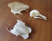 Real Pigeon Skull and Bones - Cruelty-Free Bird Remains