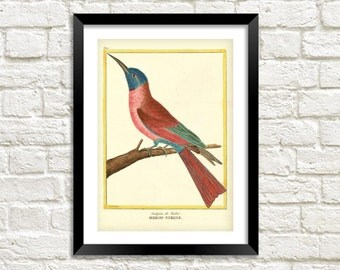 HUMMING BIRD PRINT: Vintage Martinet Bird Art Illustration Wall Hanging (A4 / A3 Size)