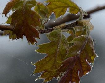 Black Oak on a Foggy Day
