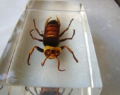 vintage entomology study-gian, t wasplnsect,bug,preserved in acrylic block-Taxidermy,paper weights