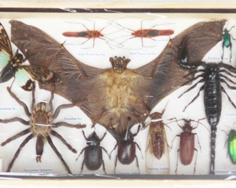 REAL Multiple INSECTS BEETLES Scorpion Cicada Spider Bat Collection in wooden box/is08TT