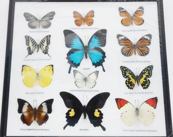 REAL 12 Mix Butterflies in frame for Sale Wall Decor Collectible Display Insect Taxidermy Extra ULYSSES /B02B