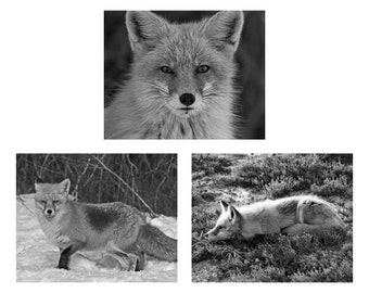 Discounted Red Fox photo set,  set of 3 photographs orange and brown animal photography. Save 33%