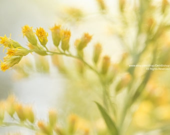 Dreamy Goldenrod In Summer Sunshine -Fine Art Botanical Canvas Gallery Wrap -Green & Yellow -Home Decor Wall Art