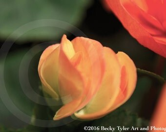 Begonia Fine Art Photo Print