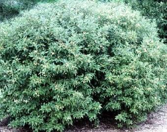 Gray Dogwood Tree Seeds, Cornus racemosa - 25 Seeds