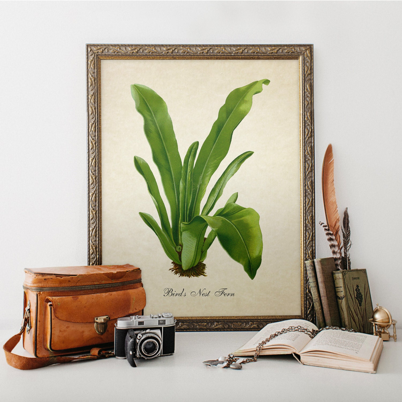 Botanical print bird 39 s nest fern print home decor antique for The nest home decor