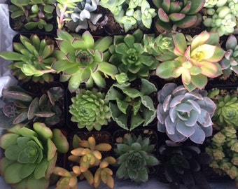 Succulent Plant. Assortment for 20 Succulent Plants