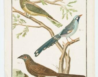 1734 Original  Natural History Hand colored Copper plate birds  Buffon de comte  Histoire naturelle des oiseaux