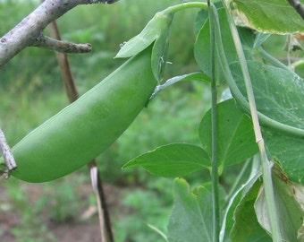 Snow Pea Mammoth Melting Sugar Pea - heirloom 30+ seeds