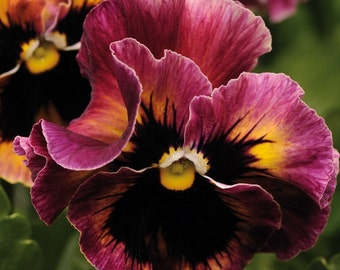 20 pansy seeds FRIZZLE SIZZLE PASSION Fruit rose and yellow shades with a frilled edge