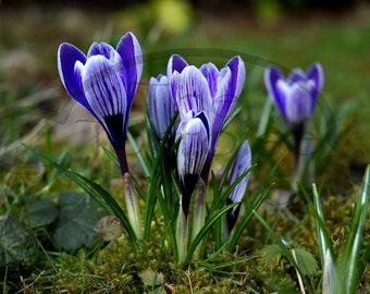 Crocuses in a bed of Moss photograph - INSTANT DIGITAL DOWNLOAD