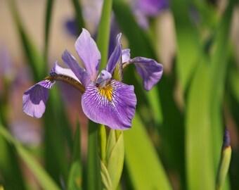 Iris of Williamsburg