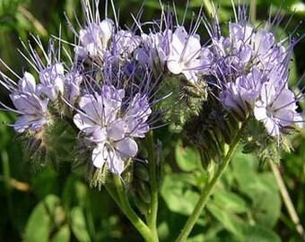 Lacy Phacelia- 250 seeds