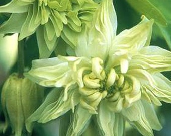 Columbine Green Apples A Hint of Lime Green!! Seeds