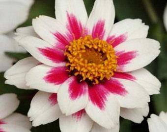 Zinnia Zahara Rose Starlight * White/Rose Stripe Seeds