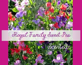 VikkiVines~ Scented Royal Colors~Victorian Garden Sweet Pea Vine ~ 15 Seeds ~ Lovely Garden Gift ~Easy To Grow!